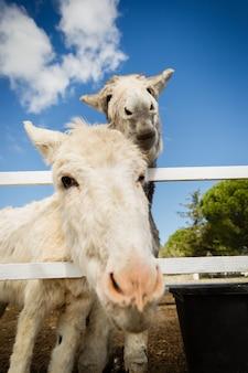 Vertical shot of white donkeys