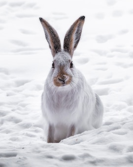 Vertical shot of a white rabbit in a field covered in the snow