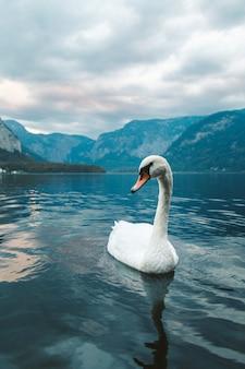 Colpo verticale di un cigno bianco che nuota nel lago a hallstatt. austria