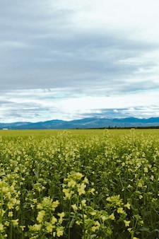 Vertical shot of a yellow flower field with a mountain  in kalispell montana usa