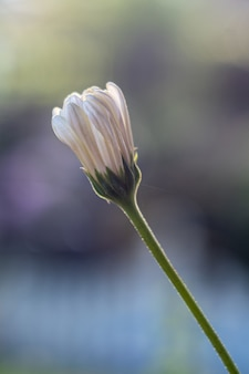 Vertical  of a stunning chamomile flower bud