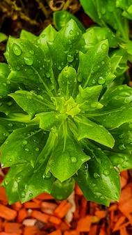 Colpo verticale di vista superiore di una pianta dall'aspetto fresco verde lussureggiante con gocce di pioggia