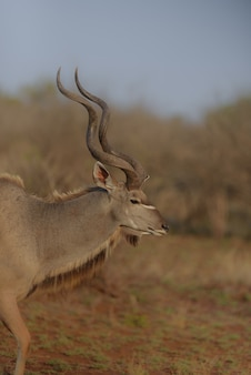Vertical view of a kudu from the side with a blurred background