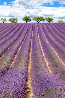 Vertical view of lavender field with cloudy sky, france, europe