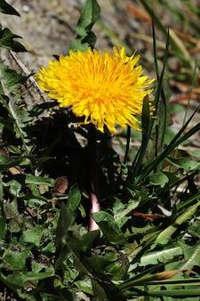 Vista verticale di un fiore di tarassaco giallo con uno sfondo sfocato