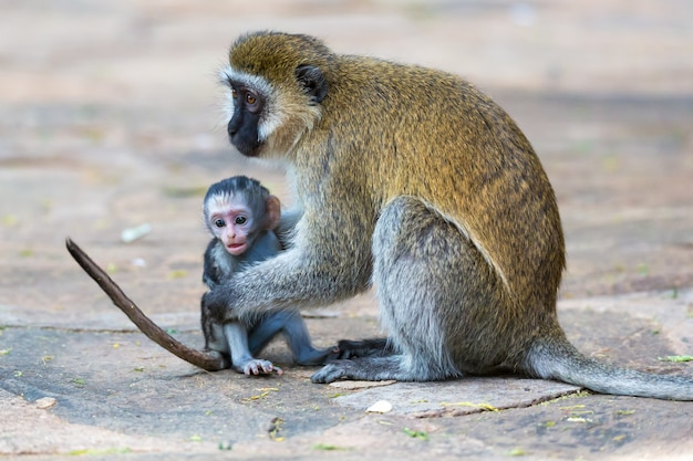 A vervet family with a little baby monkey