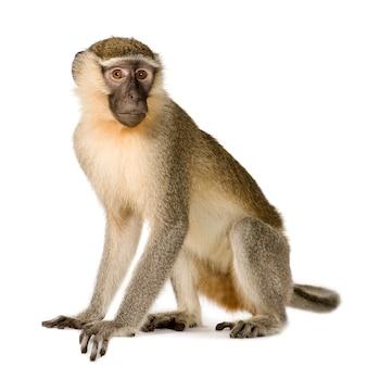 Vervet monkey - chlorocebus pygerythrus изолированы