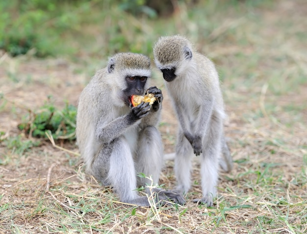 Обезьяна vervet ест яблоко, национальный парк кении, африка