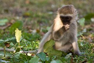 Vervet monkey  green