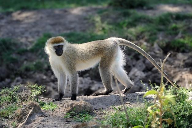 ケニア、アフリカ国立保護区のベルベットモンキー