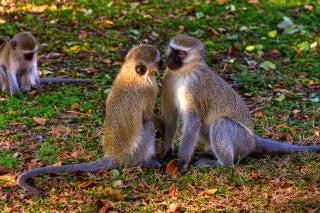 Vervet monkeys  monkeys
