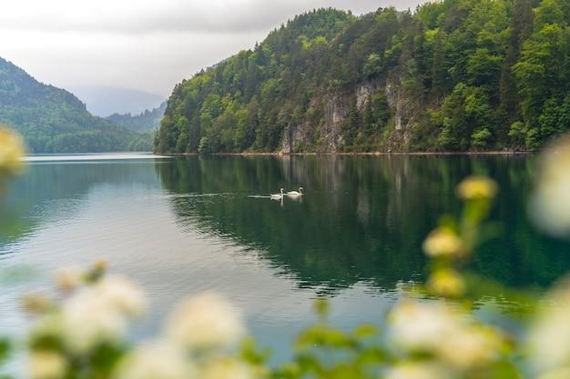 非常に美しいとロマンチックな湖。白い白鳥が湖で泳ぐ風景