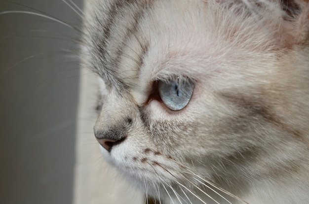 매우 아름 다운 발리 고양이 근접 촬영