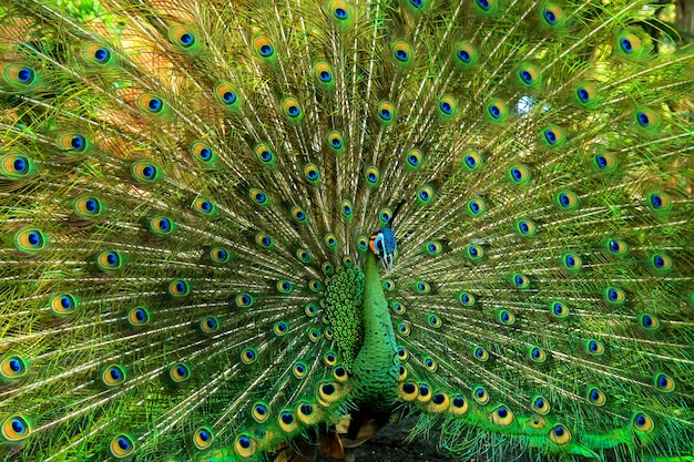 Very beautiful green peacock