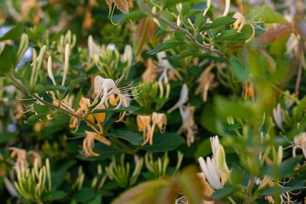 Очень красивое растение жимолость в добрый день