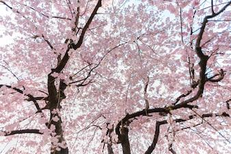 очень красивый японский сакура цветущий сакура