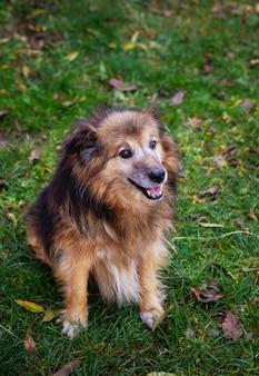 Очень красивая рыжая собака стоит и позирует. счастливая собака.