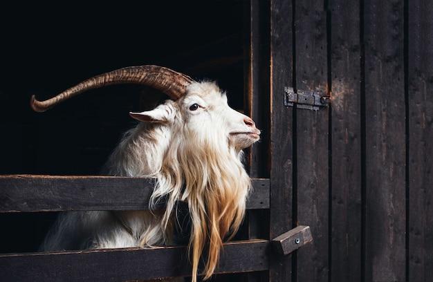 Очень красивая белая коза с длинными рогами и бородой, живущая на ферме на темном фоне.