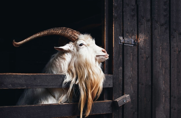 Very beautiful white goat with long horns and beard, living on a farm on the dark background.