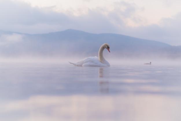 山中湖の白い白鳥はとても美しい。富士のバックグラウンド、有名で静かな場所