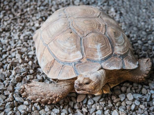모래 걷기에서 매우 큰 갈색 거북이 사막 거북이