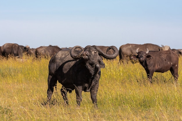 Очень большой буйвол - альфа-самец. серенгети, африка Premium Фотографии
