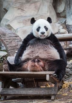 매우 큰 팬더가 휴식을 취하고 매우 재미있어 보입니다.