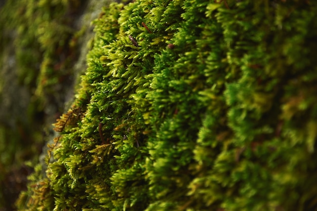 Very close focus of texture northern moss growing on stone in northern forest, at rainy winter day.