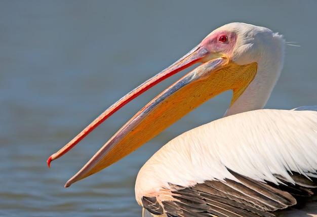 Фото очень крупным планом - голова и шея белого пеликана.