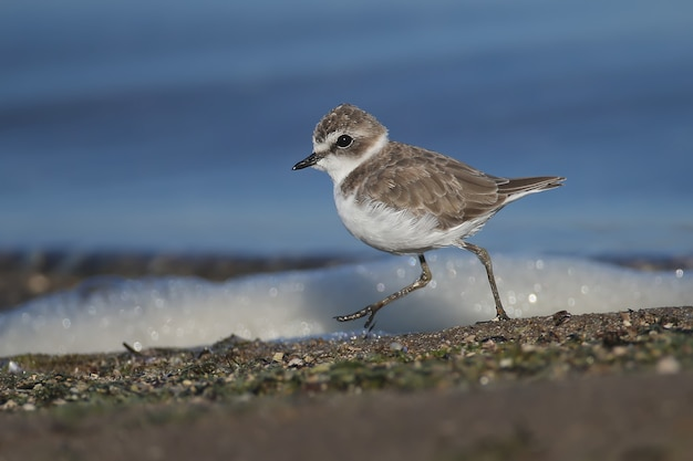 A very close-up photo of a kentish plover (charadrius alexandrinus) in winter plumage was shot on the foam against the background of the blue water of the estuary