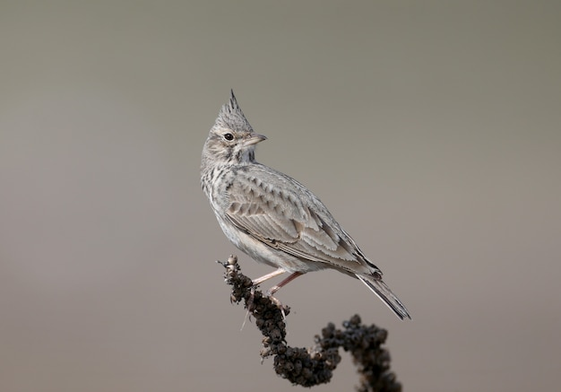 Very close-up portrait of a crested lark sitting on a dry branch