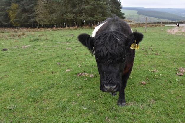 Очень милый теленок галлоуэй с поясом гуляет по большому травянистому полю.