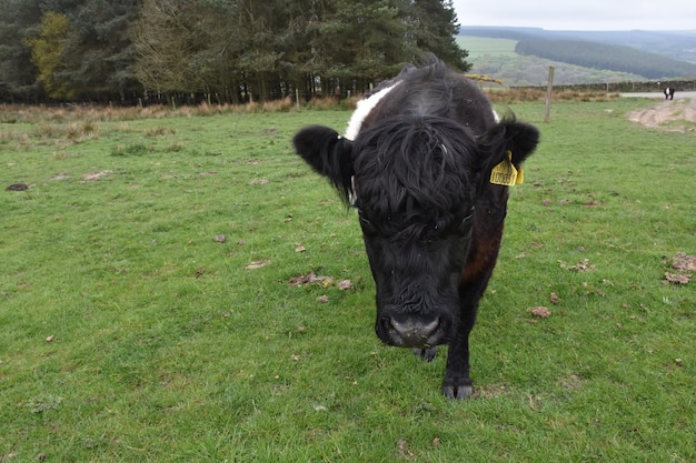 Very cute belted galloway calf walking in a large grassy field.