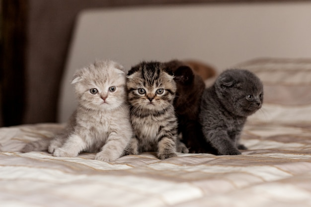 Very cute british kittens of beautiful colors sit on a plaid