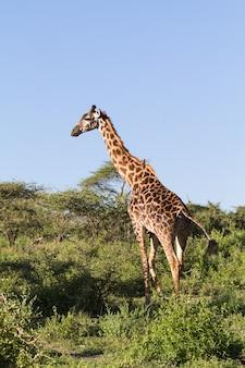 Очень высокий жираф масаи в полный рост. танзания, серенгети, африка