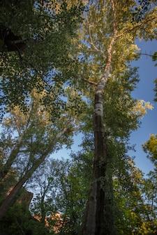 아래에서 찍은 매우 높은 평면 나무
