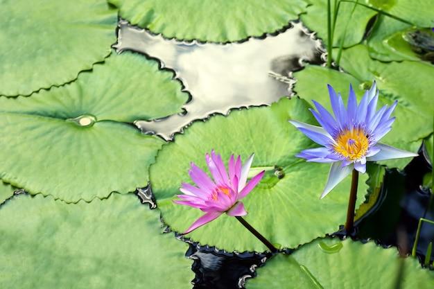 池の中で非常にジューシーな咲く蓮がクローズアップ
