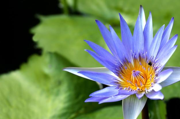 池に咲くとてもジューシーなロータス