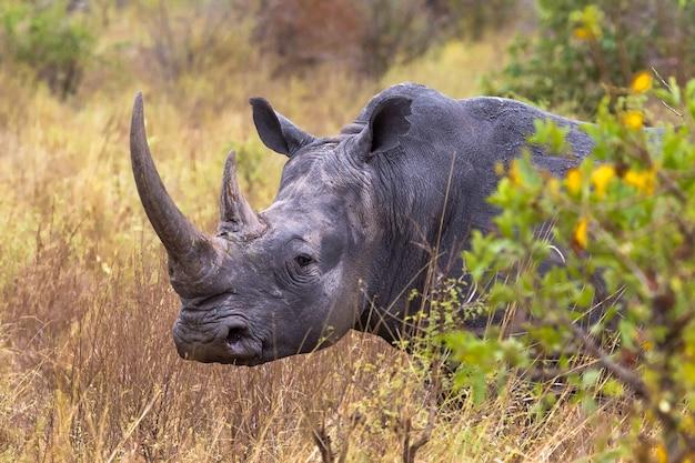 Очень большая голова белый носорог парк меру кения
