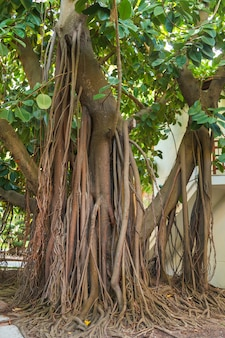 A very large rubber plant with strong roots growing in a city park