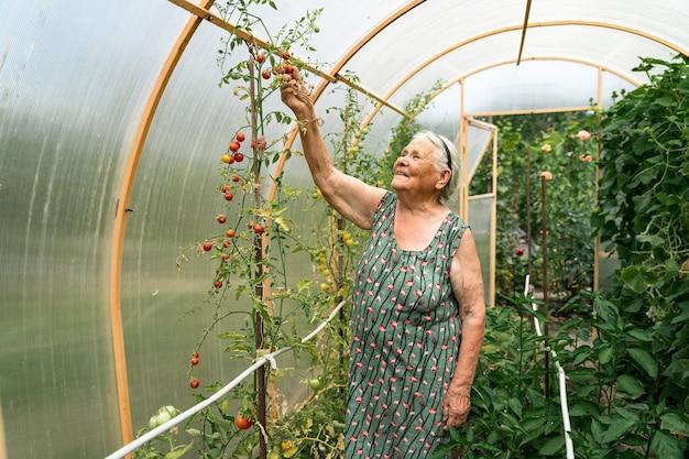 Очень старая женщина работает летом в своем саду. бабушка сидит в теплице и выращивает помидоры. увлечения для пожилых людей.