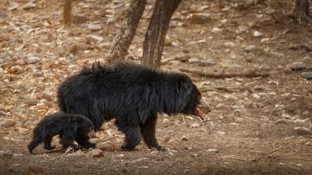 シロアリを探している非常にまれで恥ずかしがり屋のナマケグマ