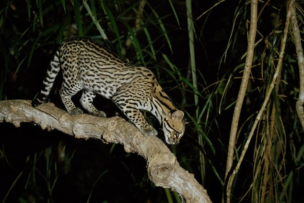 ブラジルのジャングルの夜の非常に珍しいオセロット
