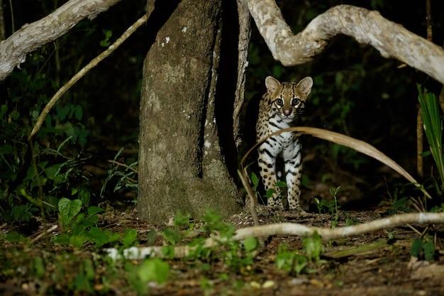 Very rare ocelot in the night of brazilian jungle