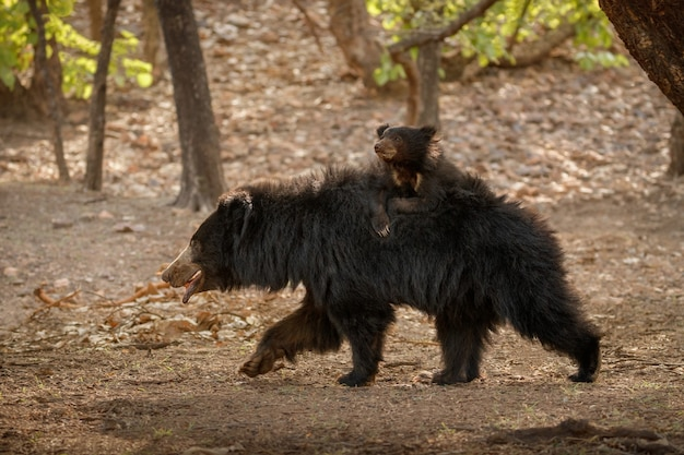 Very rare and shy sloth bear searching for termites