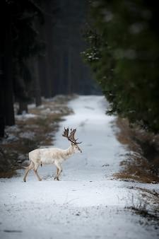 체코 공화국의 자연 서식지에서 매우 드문 흰 휴 경지 사슴 크고 아름다운 휴경 사슴