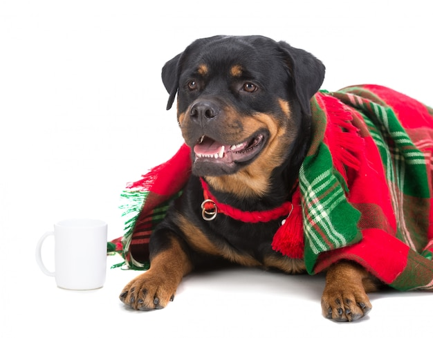 Very sad dog, rottweiler, under a blanket with a cup of tea.