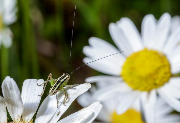 Very small green grasshopper with black stripes sitting on a daisy
