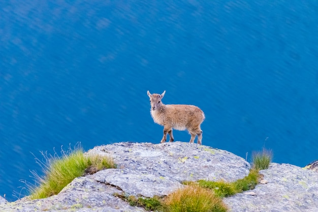 Very young ibex perched on rock looking at the camera with blue lake
