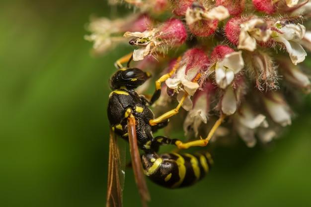 ヨーロッパのスズメバチ(vespula germanica)昆虫のクローズアップ表示。